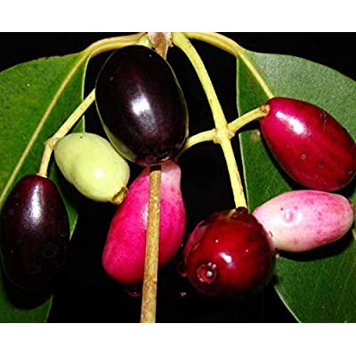 Live Plant Indian Wax Apple (JAMUN) Tropical Fruit Tree Get 1 Plant #BSG01YN : Garden & Outdoor
