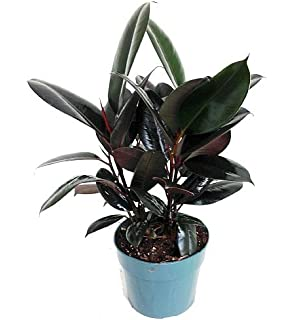 Amazon.com : Hirt\'s Fiddleleaf Fig Tree - Ficus - Great Indoor Tree ...