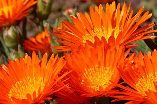 Ice Flower - 100 Gelato Orange ICE Plant Mesembryanthemum Livingstone Daisy Flower Seeds