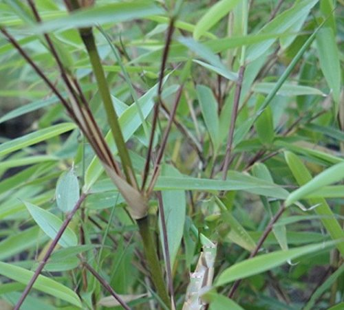Fargesia 'Rufa' Sunset Glow Bamboo, #1 Size Live Plant