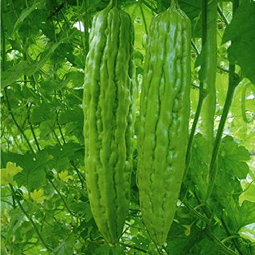 SimingD Chinese Green Melon Bitter Gourd Seeds 1¡ÁSeed Balsam Seed Organic Vegetable Brand New (Green)