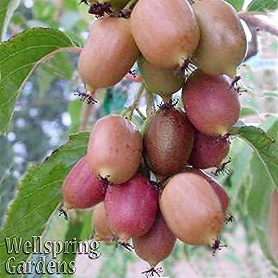 FEMALE HARDY KIWI FRUIT Plant Ken's Red Actinidia arguta Vine Plant
