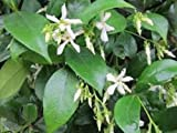 Jasmine, Star Jasmine Confederate, Trachelospermum jasminoides, one gallon size