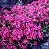 Rockcress Cascading Red Flower Seeds (Aubrieta Hybrida) 50+Seeds
