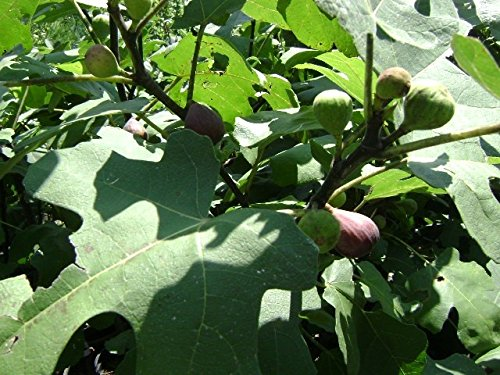 BLACK MISSION FIG TREE - 2 Year Old 3/4 Feet Tall (Best Fig Tree For Zone 7)