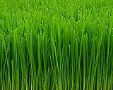 miracle wheatgrass juice - Seeds 4 Pounds Wheatgrass Catnip Substitute Wheat Grass Cat Dog Pets Pasto Trigo