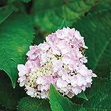 Van Zyverden Peegee Hydrangea Root Stock (Set of 1), Pink