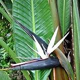 White Bird of Paradise Seeds (Strelitzia nicolai) 10+Seeds
