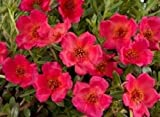PURSLANE ROCK RUBY TUESDAY FLOWER SEEDS / HERB /HEAT, DROUGHT TOLERANT PERENNIAL