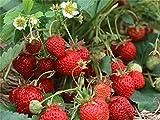 "Organic vegetable Wild Strawberry seeds ""Regina"" Alpine Large fruit - 50 Seeds."