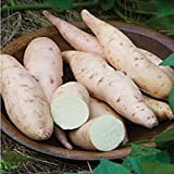 buy Sweet Potato, Bonita.The sweetest we've ever tasted.Fruit and Vegatable seeds.For Home Garden Plants. High Yielding--10seeds now, new 2018-2017 bestseller, review and Photo, best price $2.38