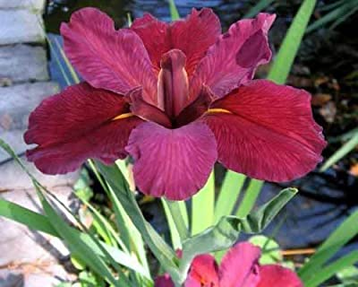 Lousiana Iris Plant - Red Velvet Elvis - Mature 1 Gallon Size - Blooms 1st Year