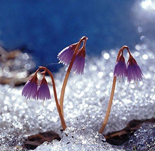 25 Soldanella alpina Seeds. Alpine Snow Bell, Alpine Soldanella, - VERY RARE ! Alpine Tree Bear
