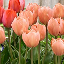 Pre-chilled Salmon Tulips Tulips - Forced Tulips - 15 Bulbs