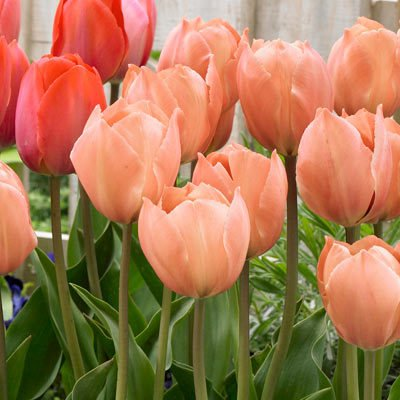 Pre-chilled Salmon Tulips Tulips - Forced Tulips - 15 ()