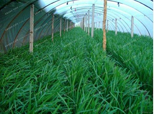 New Chinese Chive 100+ Seeds - (Allium tuberosum Garlic chive) ()