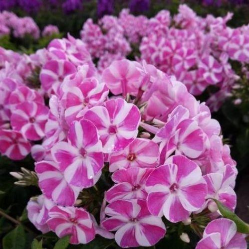 "Phlox Bambini Candy Crush Pinwheel Flower Tall 2.5"" Pot = 1 Live Potted Plant"