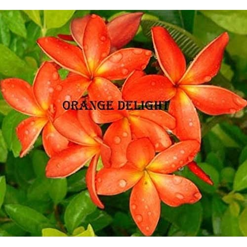 """ORANGE DELIGHT"" FRAGRANT PLUMERIA'S CUTTING WITH ROOTED 6-12 INCHES WITH CERTIFICATION AND REGISTERED TRACK ONLINE , LIMITED SEASON"