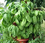 120+ITALIAN LARGE LEAF BASIL Seeds Organic NON-GMO Pesto Garden/Patio Container