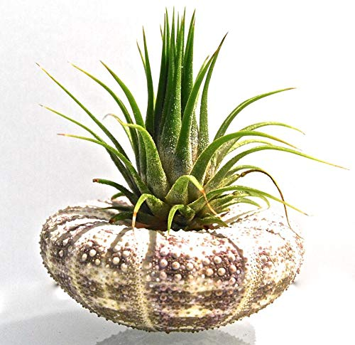 ArtAK Tillandsia Air Plant with Alfonso Sea Urchin Shell Planter + Gift Box Genuine Sea Shell Planters | Air Plants Terrarium Houseplant Holder by ArtAK