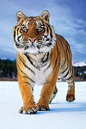 Tim Flach Tiger Poster Drucken 6096 X 9144 Cm Amazonde