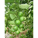 Lime Seeds Lemon Seeds Citrus Thai Tropical Key Lime Seeds for Thai Food 1 Pack