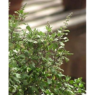Cheap Fresh Ocimum Sanctum Holy Basil Seeds Get 10 Seeds Easy Grow #GRG01YN : Garden & Outdoor
