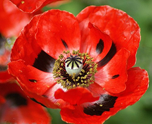 100 Red Corn Poppy Seeds, Flanders Field Poppies, Heirloom Wildflowers Annual, ()