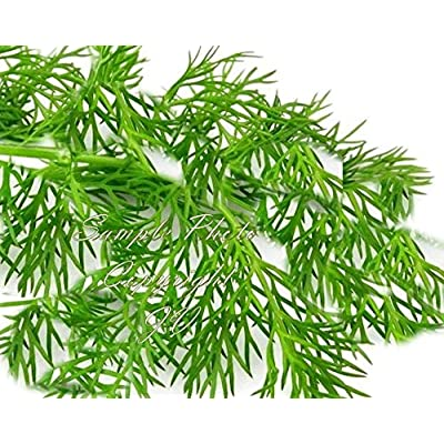 100 Seeds Dill Natural Non GMO Aromatic Herb - Pickles! Market or Home Gardens : Garden & Outdoor