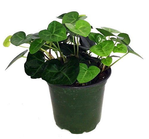 Sweetheart English Ivy - Hedera - 6'' Pot - Easy to Grow, Indoors