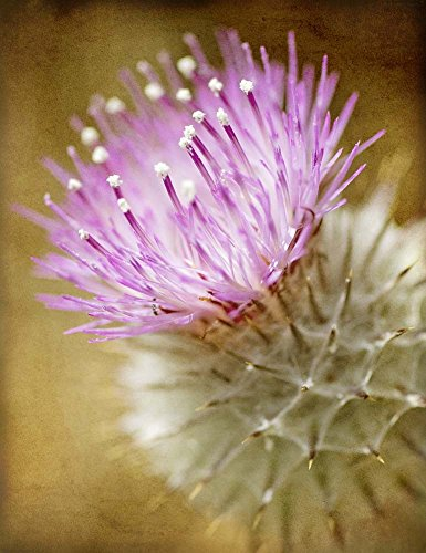Great Art Now Thistle Bloom by Jessica Rogers Photography Art Print, 9 x 12 (Art Rogers Photography)