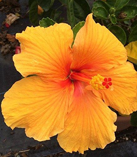 Hibiscus Rosa Sinensis Joanna Live Plant Flowers Patio Lawn