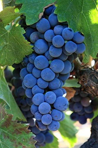(1 Gallon Bare-Root Set of Two Plants) Cabernet Sauvignon Grape, is a Small, Round, Black Grape for Wine-Making, it is one of The Most Renowned red Wine Grapes. ()