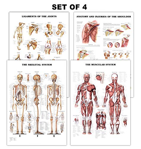 Muscles Skeleton Human ([Pack of 4] Muscular and Skeletal System Anatomical Laminated Posters with Ligaments of The Joints and Injuries of The Shoulder Poster/Skeleton Poster Pack Human Anatomy Poster Medical Poster 17 x24)