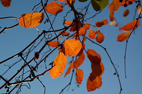 Laminated Poster: Leaves Autumn Orange Red Blood Red Fall Foliage Common Rock Pear Amelanchier