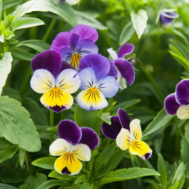 Viola Flower (David's Garden Seeds Flower Viola Helen Mount (Edible) D1442 (Multi) 100 Heirloom Seeds)