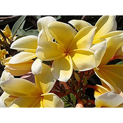 Discount Hawaiian Gifts Yellow Plumeria Cutting #LL4: Toys & Games