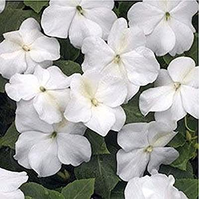 Impatiens- Walleriana Baby -White- 50 Seeds