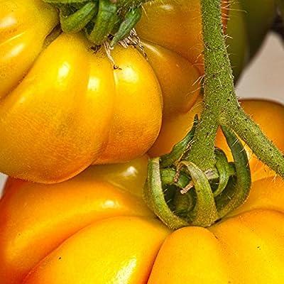 Tomato Garden Seeds - Persimmon - Non-GMO, Heirloom Vegetable Garden Seeds