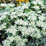 Outsidepride Euphorbia Early Snow - 500 Seeds