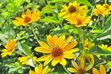50 Jerusalem Artichoke Seeds - Helianthus tuberosus - Herbaceous perennial