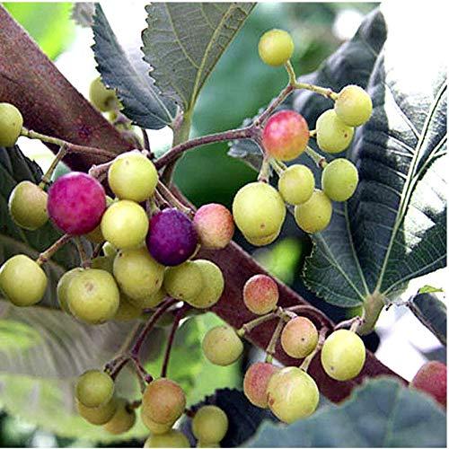 Sherbet Berry Grewia asiatica Live Plant Falsa Phalsa Fruit by wellspring100