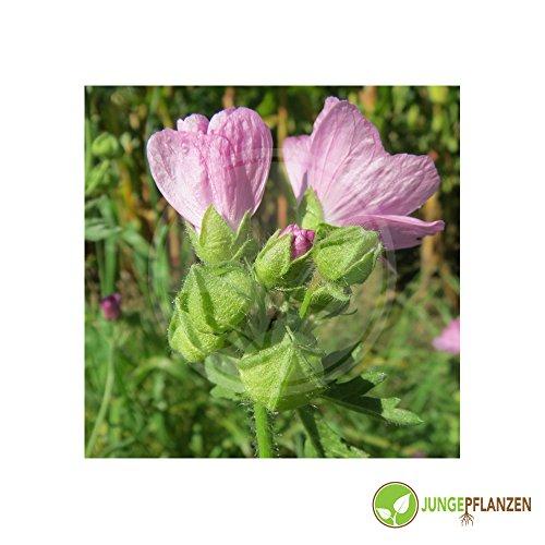 Kräutersamen - Malve / Malva - Malvaceae - verschiedene Sorten(Malve / Blaue - Malva sylvestris)