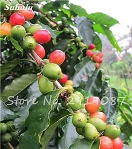Los granos de café verde Bonsai Semillas fruta del alimento orgánico vegetal de semillas Refrescante Bonsai Árbol de la planta del pote del café para jardín 8 PCS 7