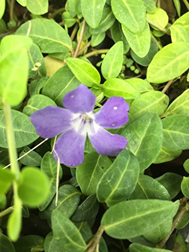 8 Vinca Plants Periwinkle/Vinca - Hardy Groundcover 8 Plants in 4 inch Pots (Best Ground Cover To Choke Out Weeds)