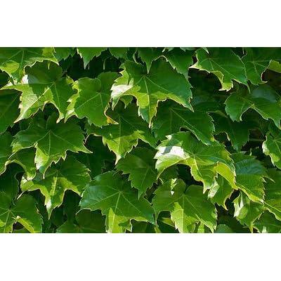 ivy, BOSTON IVY, climbing vine perennial, 100 seeds! GroCo : Garden & Outdoor