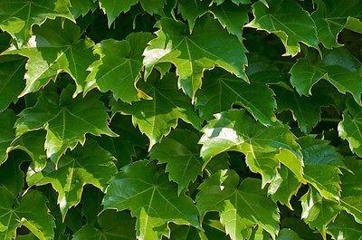 Climbing Vines Ivy (ivy, BOSTON IVY, climbing vine perennial, 100 seeds! GroCo)