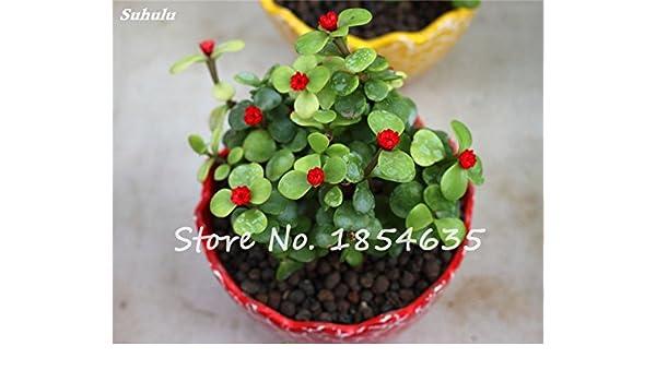 1 paquete 100pcs verdolaga Semillas, semillas de hortalizas bonsai ...