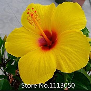 Amazoncom 10 Rare Double Yellow Hibiscus Seeds Giant Dinner Plate