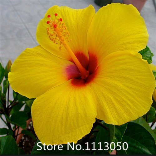 Promotion 100 Giant Hibiscus seeds Flower Seeds Hardy ,Mix Color, DIY Home Garden potted or yard flower seeds plant,Free Shippi